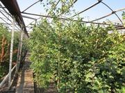 Продам саженцы хвойных и декоративных растений